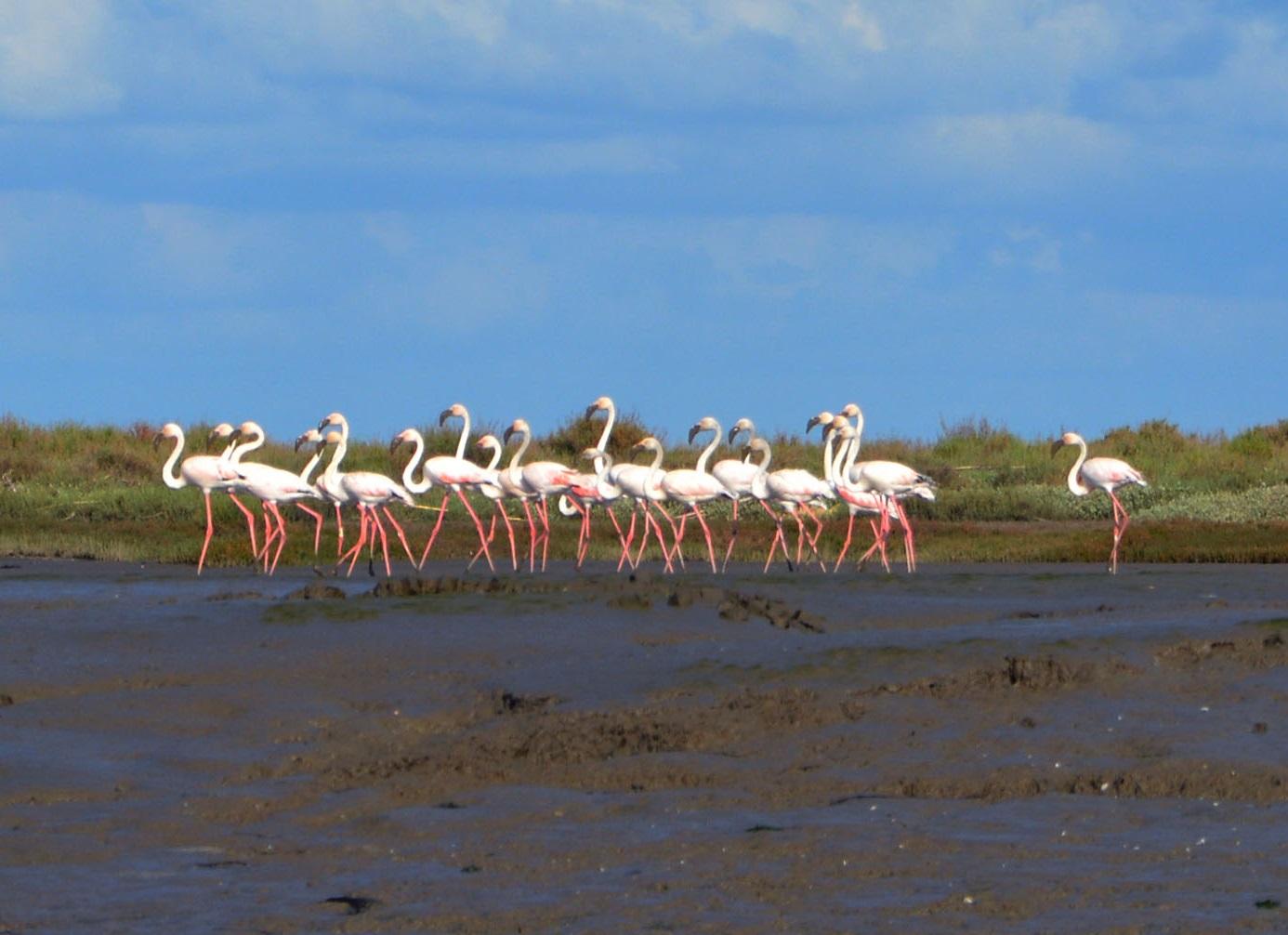 Flamingos no Mouchão da Póvoa
